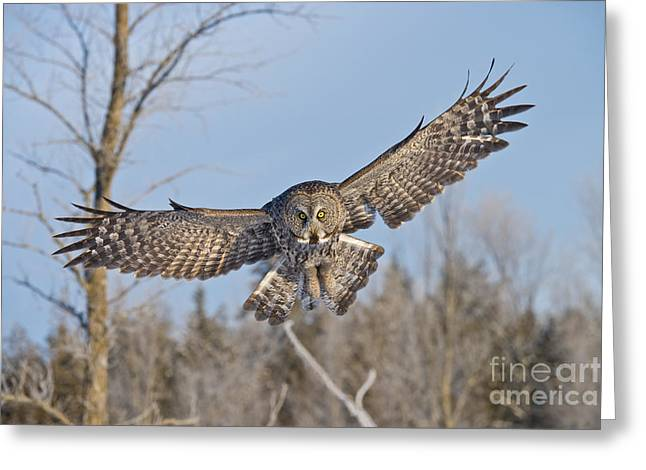 Great Gray Owl Greeting Card