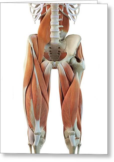 Human Leg Muscles Greeting Card