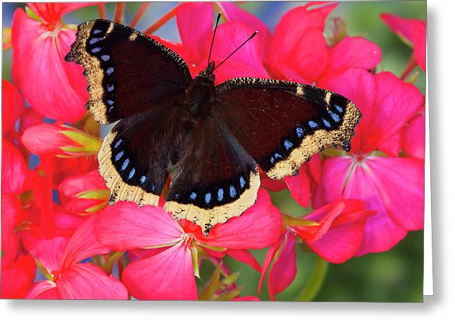 Mourning Cloak Butterfly, Nymphalis Greeting Card by Darrell Gulin
