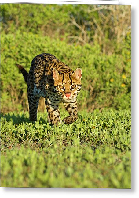 Ocelot (felis Pardalis Greeting Card by Larry Ditto