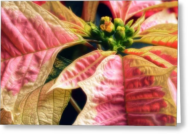 Poinsettia (euphorbia Pulcherrima) Greeting Card