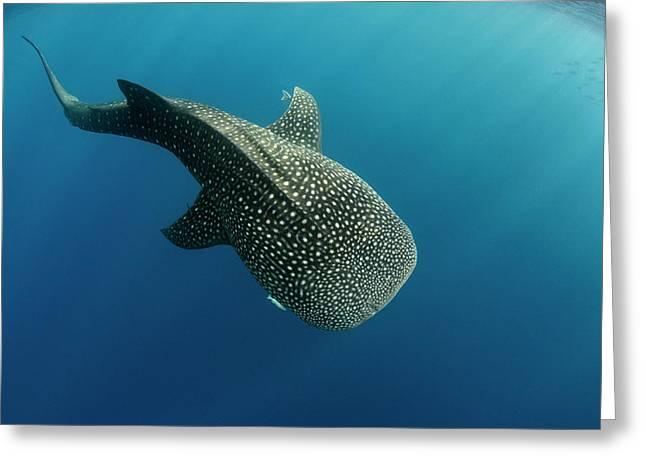 Whale Shark, Cenderawasih Bay, West Greeting Card