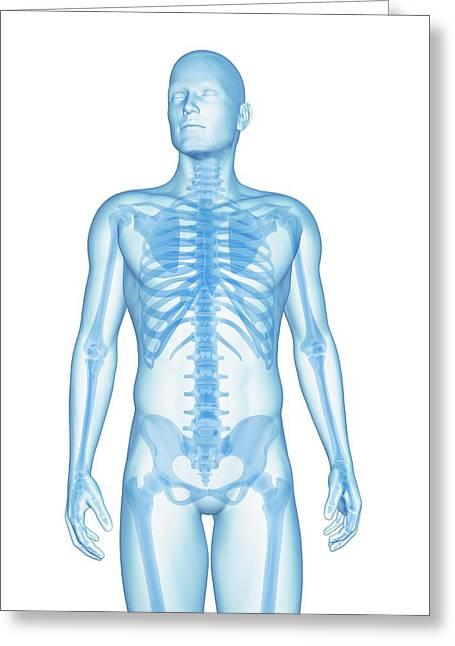 Human Skeletal System Greeting Card by Sebastian Kaulitzki