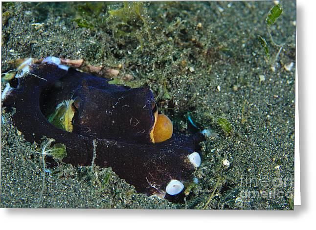 A Coconut Octopus, Lembeh Strait Greeting Card by Steve Jones