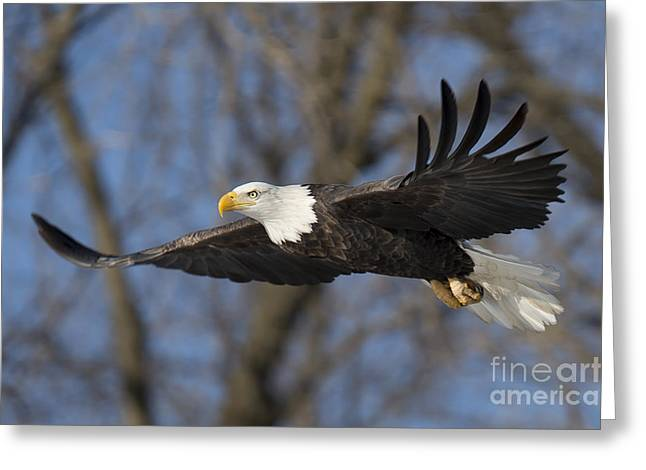 Bald Eagle In Le Claire Iowa Greeting Card