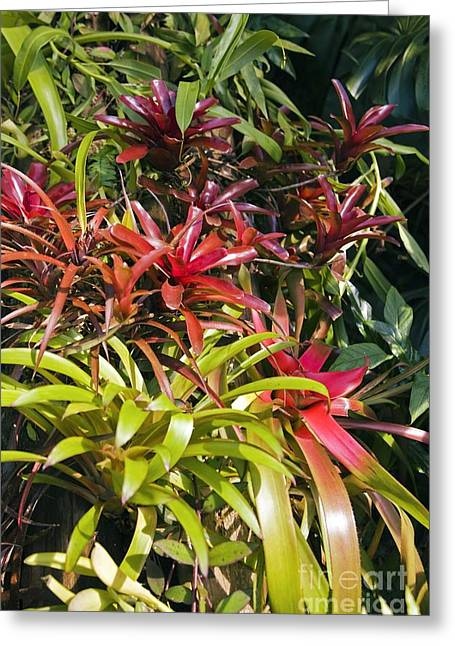 Bromeliad Plant Greeting Card by Dr. Keith Wheeler
