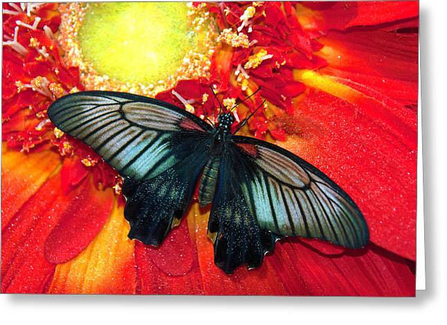 Butterfly Greeting Card by Tam Ryan