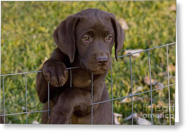 Chocolate Labrador Retriever Greeting Card by Linda Freshwaters Arndt