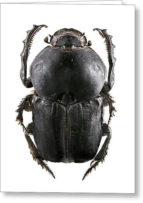 Dung Beetle Greeting Card by F. Martinez Clavel