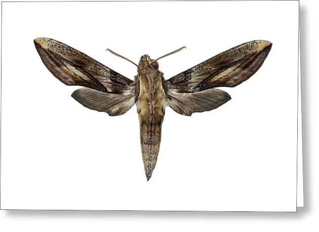 Hawk Moth Greeting Card