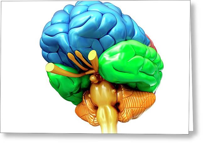 Human Brain Regions Greeting Card by Pixologicstudio/science Photo Library