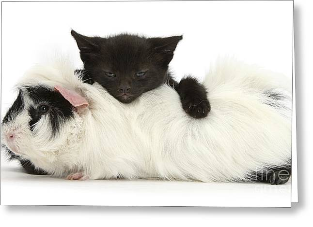 Kitten And Guinea Pig Greeting Card by Mark Taylor