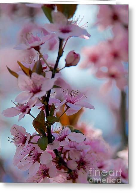 Plum Tree Flowers Greeting Card