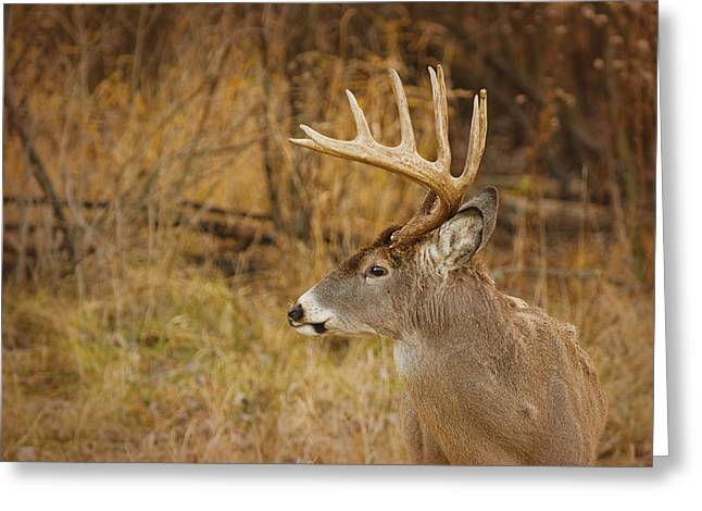 12 Point White-tail Greeting Card