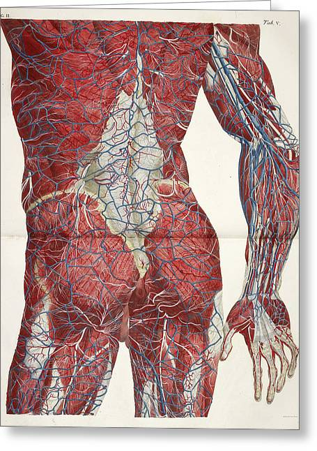 The Circulatory System Greeting Card