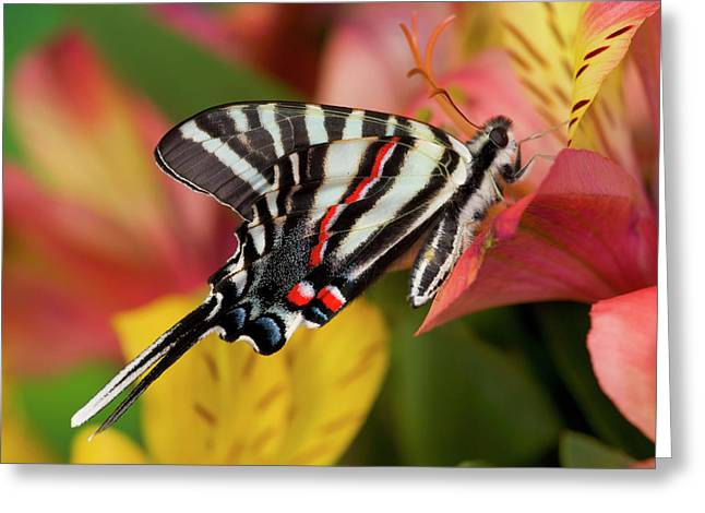 Zebra Swallowtail North American Greeting Card
