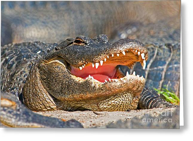 American Alligator Greeting Card by Millard H. Sharp