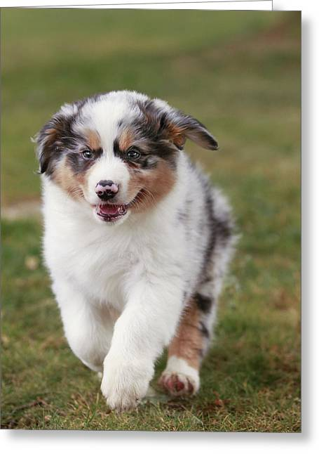 Australian Shepherd Puppy Greeting Card by Jean-Michel Labat