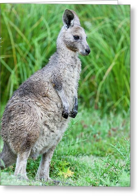 Eastern Grey Kangaroo (macropus Greeting Card