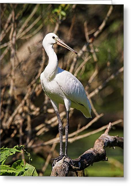 Eurasian Spoonbill Or Common Spoonbill Greeting Card by Martin Zwick