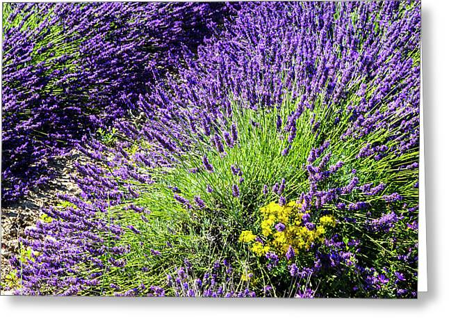 France, Provence, Lavender Field Greeting Card by Terry Eggers