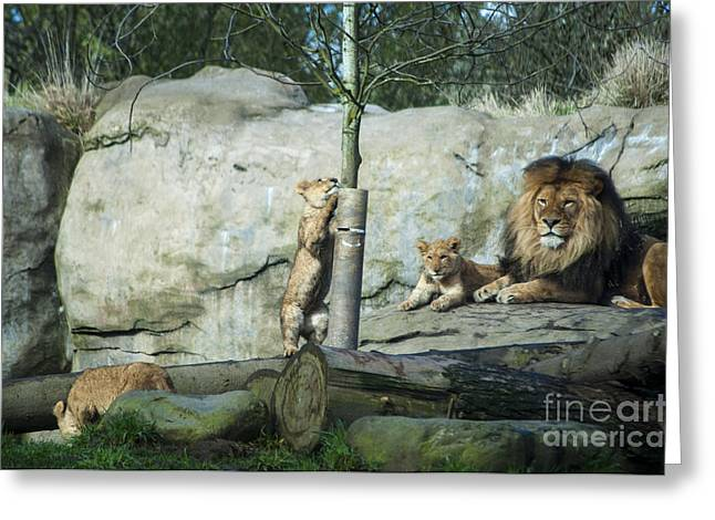 Lion Cubs Greeting Card by Mandy Judson