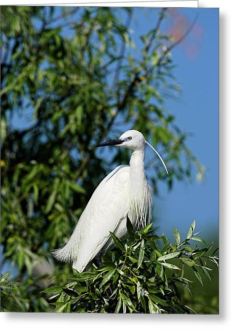 Little Egret (egretta Garzetta Greeting Card