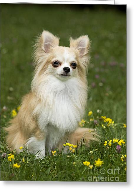 Long-haired Chihuahua Greeting Card by Jean-Michel Labat