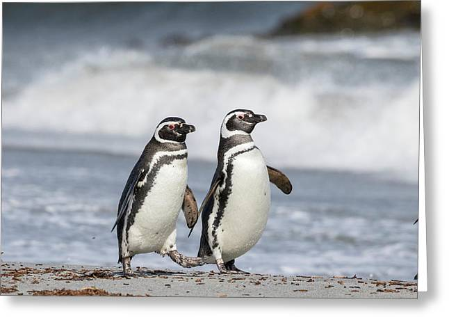 Magellanic Penguin (spheniscus Greeting Card