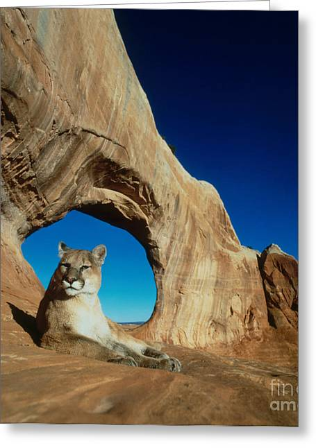 Mountain Lion Greeting Card by Hans Reinhard