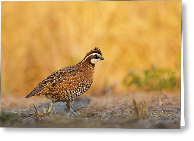 Northern Bobwhite (colinus Virginianus Greeting Card by Larry Ditto