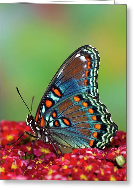 Red Spotted Purple Butterfly, Limenitis Greeting Card