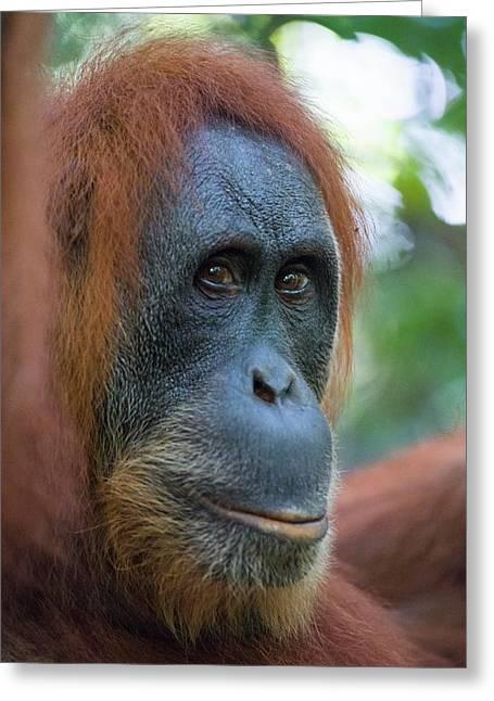 Sumatran Orangutan Greeting Card