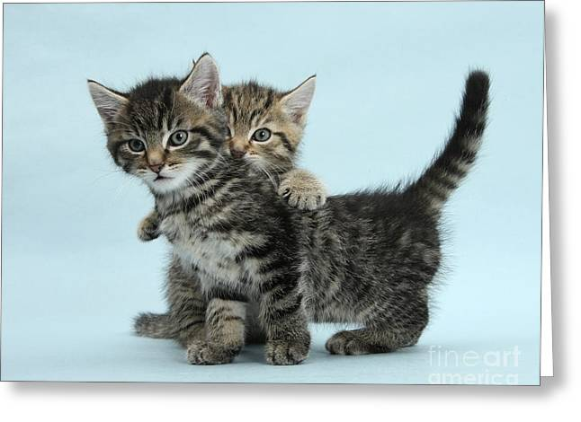 Tabby Kittens Greeting Card by Mark Taylor