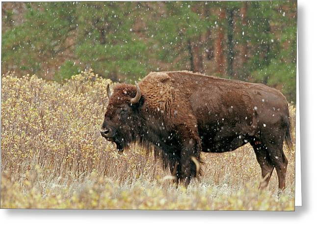 Usa, South Dakota, Custer State Park Greeting Card