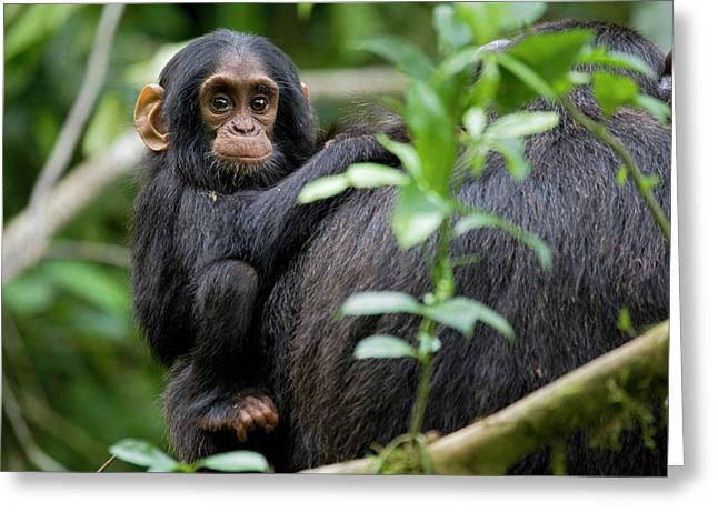 Africa, Uganda, Kibale National Park Greeting Card