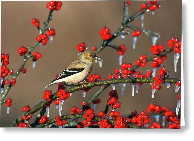 American Goldfinch (carduelis Tristis Greeting Card