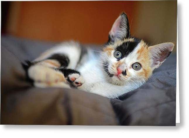 Calico Kitten Greeting Card