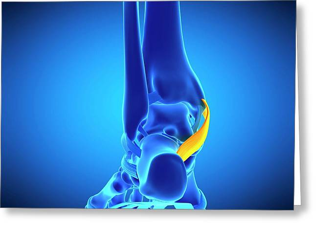 Foot Ligament Greeting Card by Sebastian Kaulitzki/science Photo Library