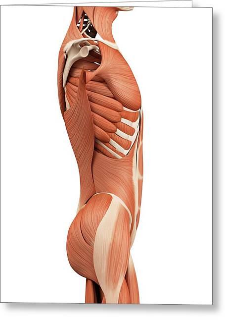 Human Abdominal Muscles Greeting Card by Sebastian Kaulitzki