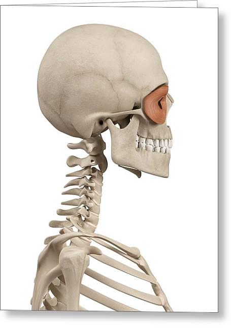 Human Facial Muscles Greeting Card