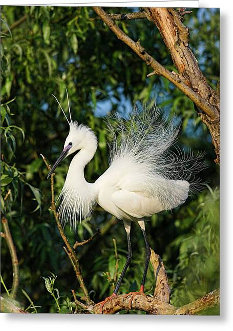 Little Egret (egretta Garzetta Greeting Card by Martin Zwick