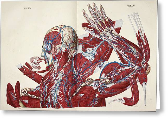 Muscular System Greeting Card