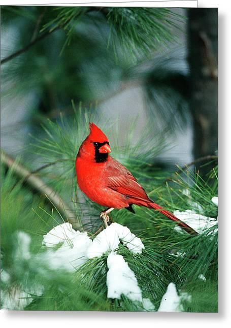 Northern Cardinal (cardinalis Cardinalis Greeting Card by Richard and Susan Day