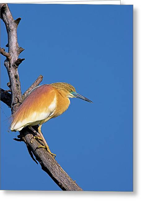 Squacco Heron (ardeola Ralloides Greeting Card by Martin Zwick