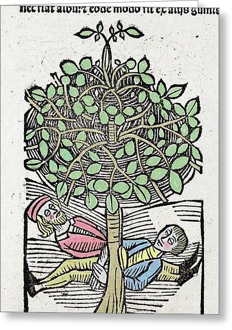 1491 Bausor Opium Tree Hortus Sanitatis Greeting Card by Paul D Stewart