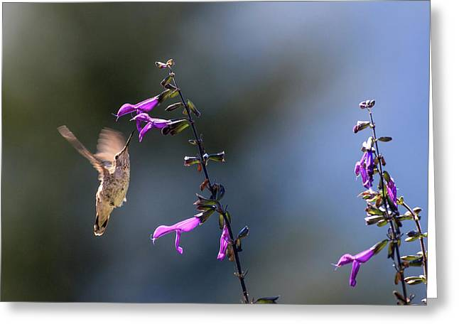 Anna's Hummingbird Greeting Card