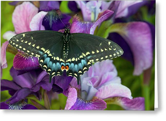 Black Swallowtail Butterfly, Papilio Greeting Card by Darrell Gulin