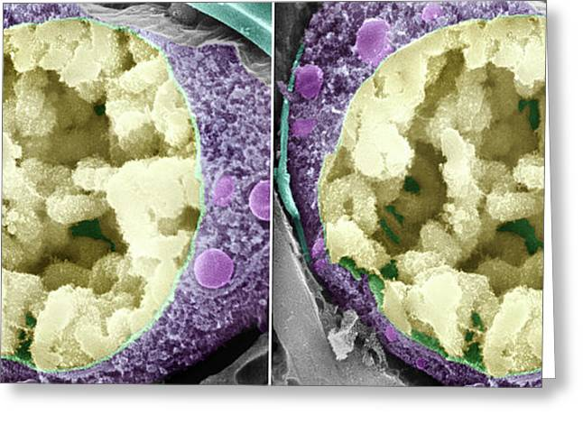 Dividing Pollen Cell Greeting Card by Professor T. Naguro