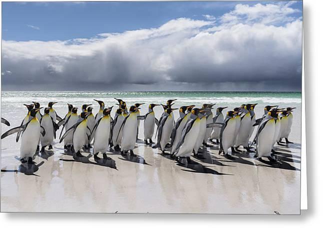 King Penguin (aptenodytes Patagonicus Greeting Card